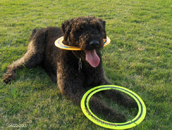 Licorice the Labradoodle with Pro rings from Heather and Tony Vilaros