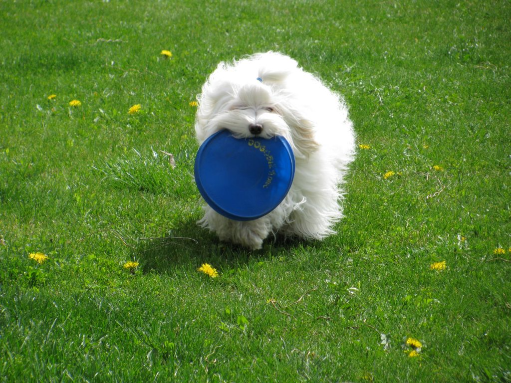 Louie the Havanese with a Dogobie, Stephanie Balzarini, Eagle, ID