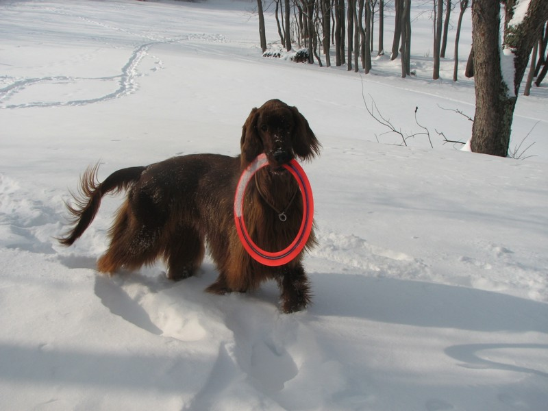 Mr Beau romps in the deep snow with Pro ring Tom Fischer Blairstown NJ